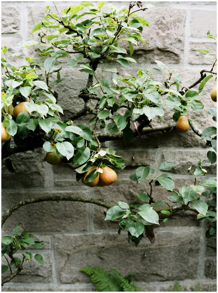 Pear tree on stone wall of prviate estate courtyard